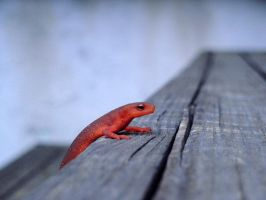 Itty-Bitty Newt Hanging Around by AbelPhee