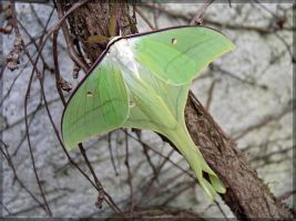 Actias  ningpoana, male - 2 by J-Y-M