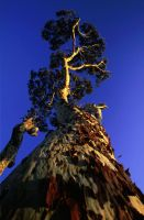 Spotted Gum by jbrum