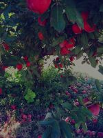 Apple-hill-orchard-02 5002161355 O by FANARIS