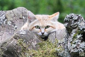 Sand Cat by Renathory