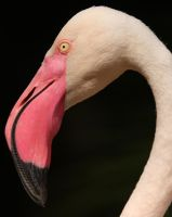 Flamingo face by krystledawn
