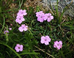 Dianthus microlepis 2 by lapis-lazuri