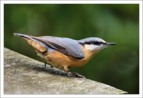 A Eurasian Nuthatch 170711 by Rajmund67