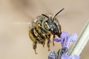 Hairy Footed Bee V by dalantech