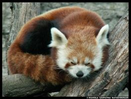 Red Panda ZzZ by leopatra-lionfur