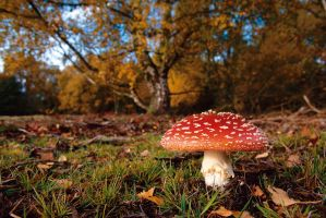 Fly Agaric 3 by Grunvald