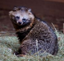 Japanese Raccoon Dog lll by deseonocturno