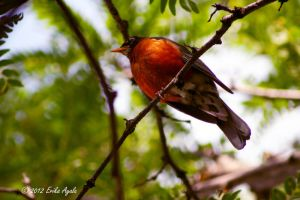 Little Fat Robin by Sombraluz-Images