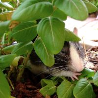 Hiding Rat by hell0z0mbie