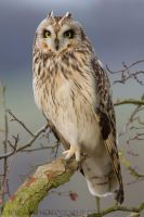 Short Eared Owl by Albi748