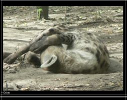 Hyena don't like get up by Grion