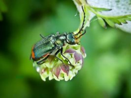 Malachite Beetle by iriscup