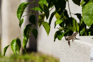 Brown anole on wall by LordMajestros
