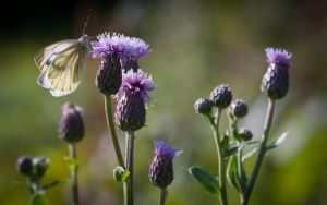 Thistles And Green Veined Butterfly by Glenn0o7