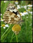 Another beautiful butterfly by Pildik