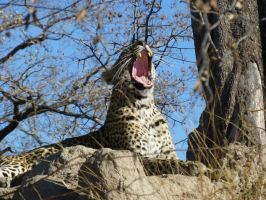 Achtung Leopard! :D by Windstern