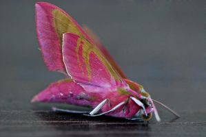Pink Moth by calikal
