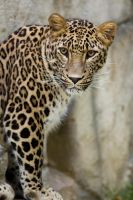 6923 - Persian leopard by Jay-Co