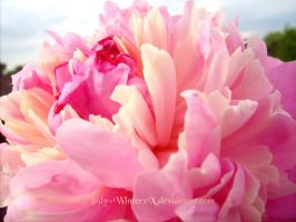 candy Peony by LadyxWinter