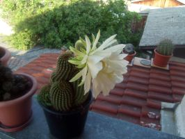 Argentine giant echinopsis candidans blooming by CactusThorns