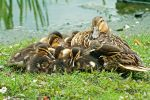 Momma duck and the fluffballs by hoschie