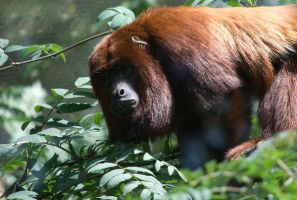 Howler Monkey by Safraba