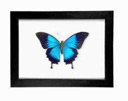 Royal Blue Swallowtail Display (Papilio Ulysses) by TheButterflyBabe