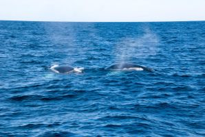 Whales, Two Backs and Mist Spray by Miss-Tbones