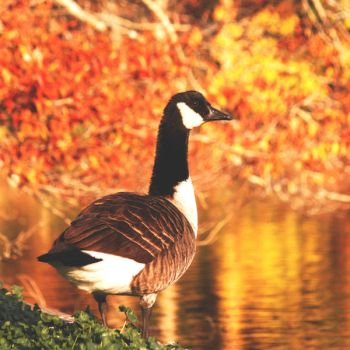 Canadian Goose - Autumn by incolor16