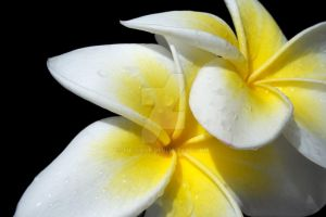 .: Frangipani :. by mc-cool