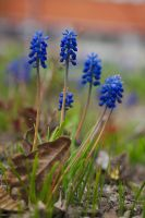 Grape-hyacinth by perost