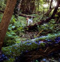 Foxterrier Whisky in the Woods by A-ku-ma