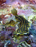 Nudibranch by serdarsuer