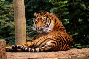 Sumatran Tiger Relaxing by Tebyx