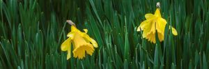 Narcissus by UriahGallery