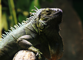 Disapproving Iguana. by FSGPhotography