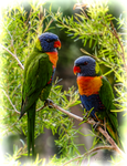Lorikeets by vanndra