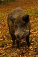 An eating wild pig by sportytomm