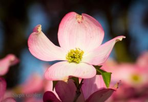 Dogwood Bloom by StephGabler