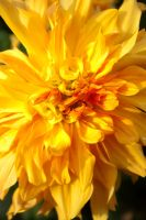 Blast of yellow and orange by steppelandstock