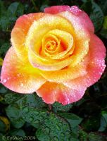 Jeweled Coral Rose 057 by Eolhin