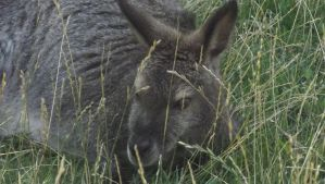 wallaby by selftaughtartist1