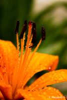 Orange Speckled Lily by thriftyredhead