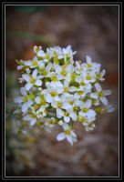 white flowers by DesignKReations