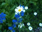 Anthemis 2 by K1ku-Stock