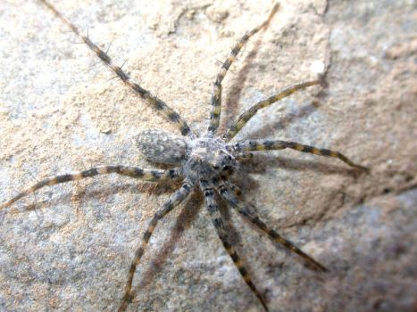 Dolomedes spp. by shanebeall