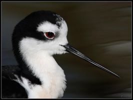 Black-necked Stilt Portrait by cycoze