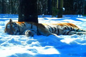 Sleeping tiger by Marie1313