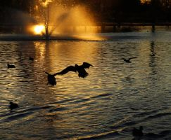 Duck landing 2713 by mammothhunter